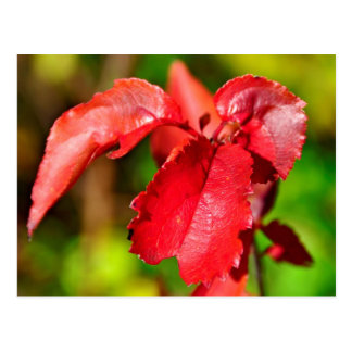 Fall Colors - Red Leaf Postcard