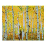 Fall colours of Aspen trees 1 Poster