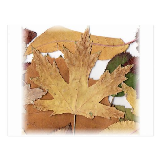 Fall Foliage Maple Leaf Post Card