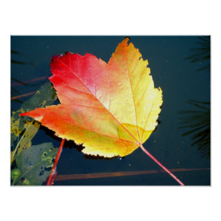 Fall Maple Leaf on Water Posters