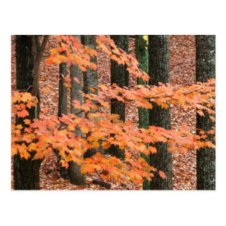 Fall Maple Postcard