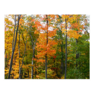 Fall Maple Trees Autumn Nature Photography Postcard