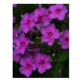 Fall Phlox Pink Wildflower Floral Nature Postcard