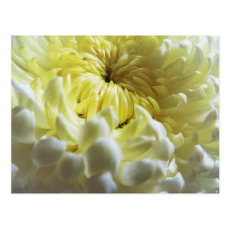 Fall-Themed Postcard - Chrysanthemum Closeup