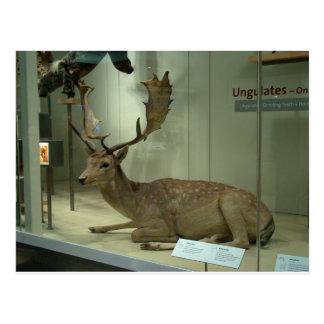Fallow deer (Dama dama) Postcard