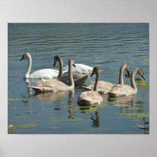 Family Flock of Swans Poster