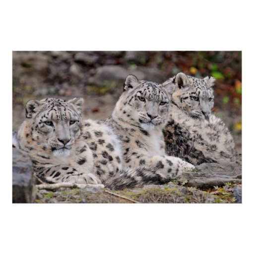 Family of Black Spotted White Leopards Poster