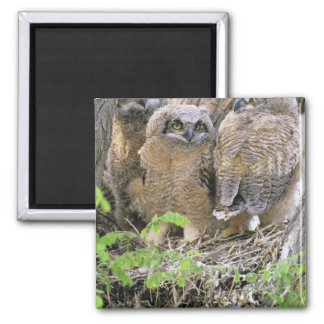 Family of Great Horned Owlets (Bubo virginianus) Square Magnet