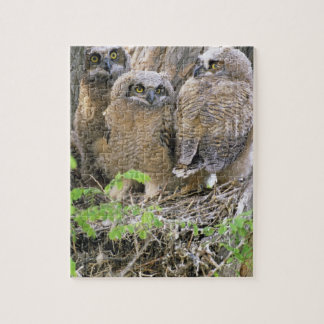 Family of Great Horned Owlets (Bubo virginianus) Puzzle