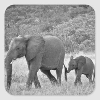 Family of South African elephants Square Sticker