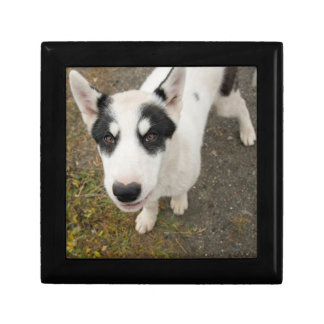 Famous Greenlandic sled dog, black and white puppy Gift Box