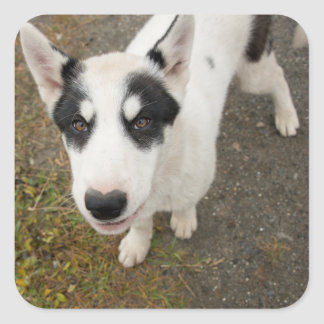 Famous Greenlandic sled dog, black and white puppy Square Sticker