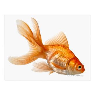 Fancy Goldfish Postcard