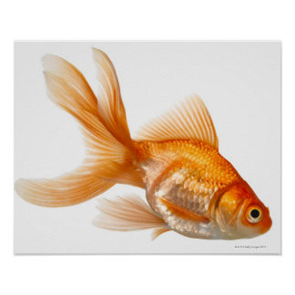 Fancy Goldfish Poster