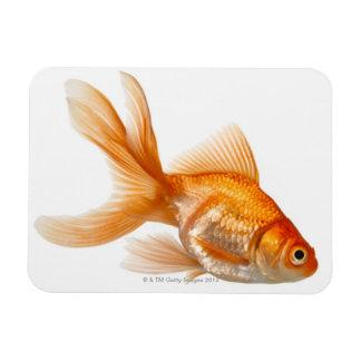 Fancy Goldfish Rectangular Photo Magnet
