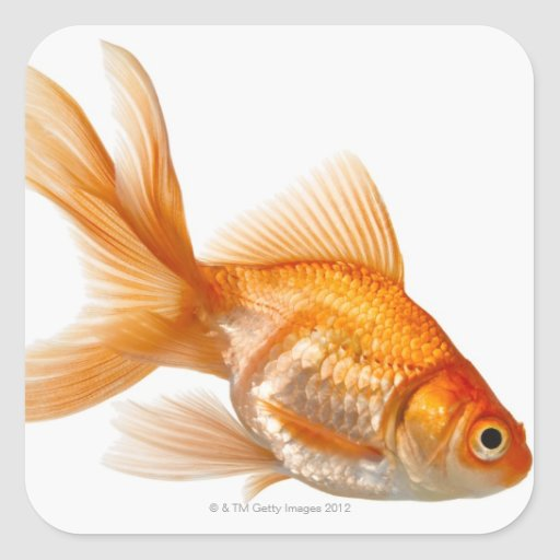 Fancy Goldfish Stickers