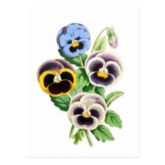Fancy Pansies Vintage Illustration Postcard