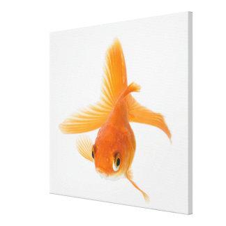 Fantail goldfish (Carassius auratus) Canvas Print