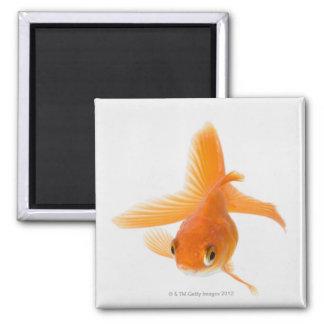 Fantail goldfish (Carassius auratus) Square Magnet