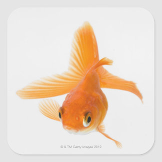 Fantail goldfish (Carassius auratus) Square Sticker