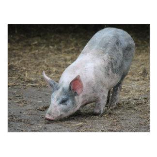 Farm Animal Pig Postcard
