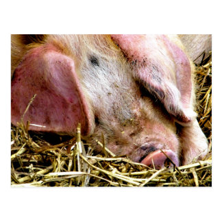 FARM ANIMALS, PIGS POSTCARD