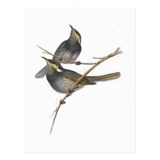 Fasciated Honey-eater Postcard