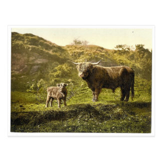 Father and son (highland cattle), England classic Postcard