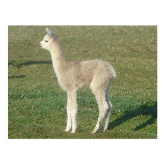 Fawn alpaca cria postcards