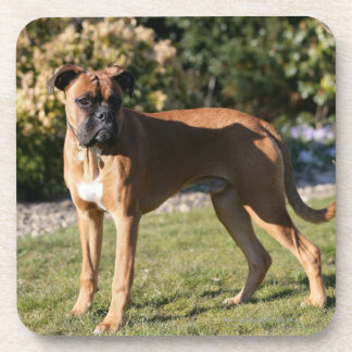 Fawn Boxer Dog Standing Beverage Coasters