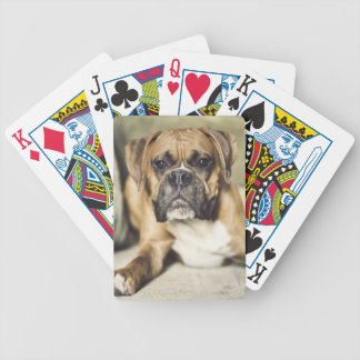 Fawn boxer pup laying down. bicycle playing cards