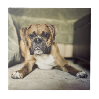 Fawn boxer pup laying down. tile