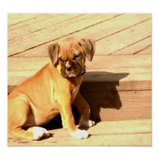 Fawn boxer puppy sitting poster