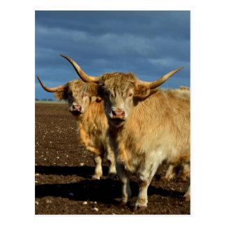 Fawn Coloured Highland Cows, Postcard