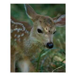 Fawn in Grass Poster