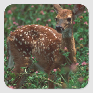Fawn.jpg Square Stickers