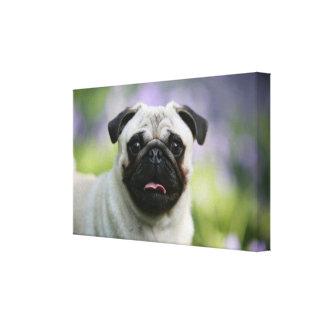 Fawn Pug on Alert Canvas Print