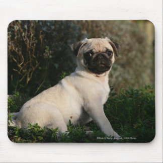 Fawn Pug Puppy Sitting Mouse Pad