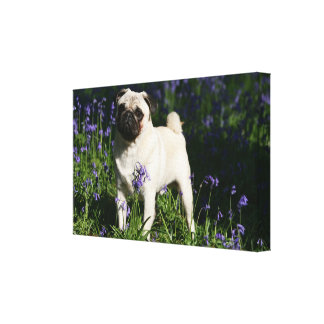 Fawn Pug Standing in the Bluebells Canvas Print