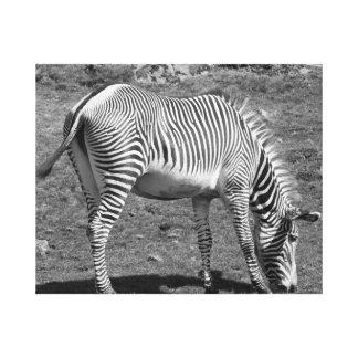 "'Feeding zebra"" Canvas Print"