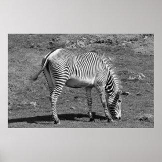 """""""Feeding Zebra"""" Poster"""