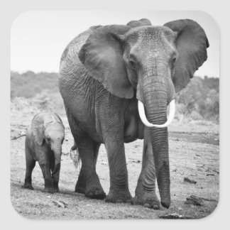 Female African elephant and three calves, Kenya. Square Sticker