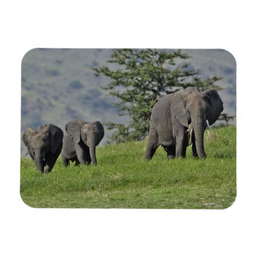 Female African Elephant with baby, Loxodonta 2 Rectangle Magnets