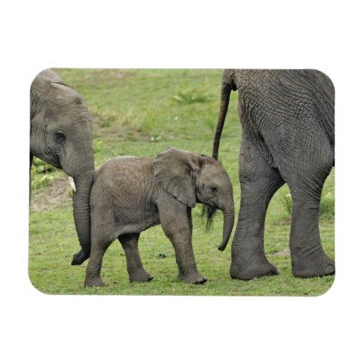 Female African Elephant with baby, Loxodonta 3 Vinyl Magnet