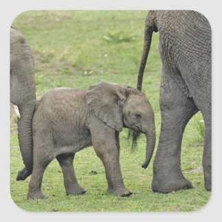 Female African Elephant with baby, Loxodonta 3 Square Sticker