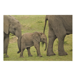 Female African Elephant with baby, Loxodonta 3 Wood Print