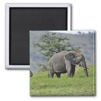 Female African Elephant with baby, Loxodonta Square Magnet