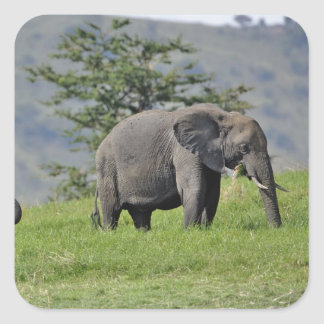 Female African Elephant with baby, Loxodonta Square Sticker