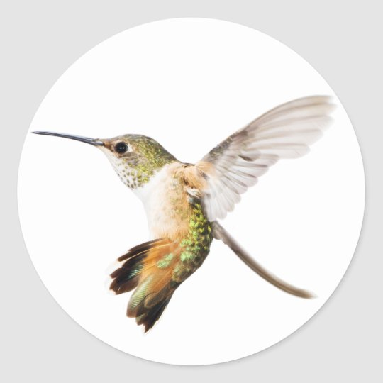 Female Allen's Hummingbird sticker