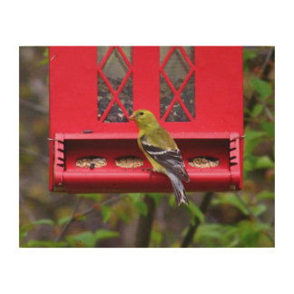 Female American Goldfinch Wood Prints